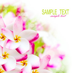 Frangipani plumeria pink hawaii flower. Spa border background
