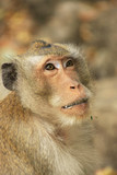 Portrait of long-tailed macaque