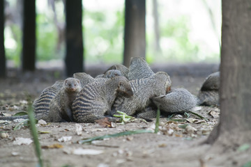 Flock of Mongooses