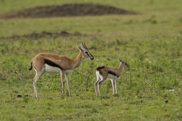 Gazelle with its Cub n the Savannah
