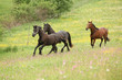Two black and one brown horses running in pink flowers