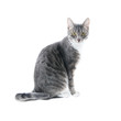 silver grey tabby cat