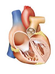 Human heart (Herz Mensch)