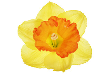 .Beautiful spring single flower: orange narcissus (Daffodil). .