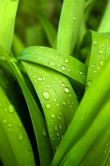 Spring grass with water drops
