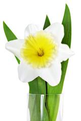 Beautiful spring three flowers : narcissus (Daffodil).