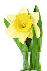 .Beautiful spring single flower: yellow narcissus (Daffodil). .