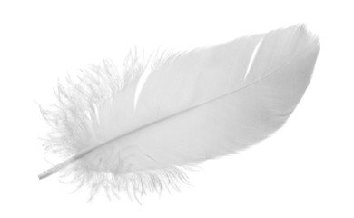 single gray pigeon feather on white