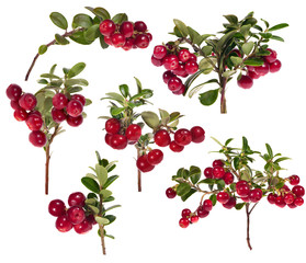 six branches of red cowberries collection