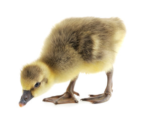 little gosling isolated
