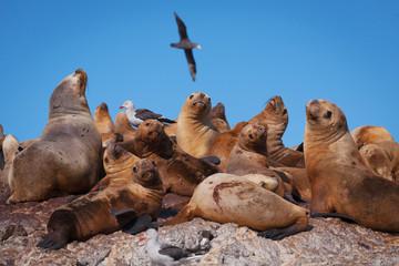 Sea lions, Puerto Deseado, Patagonia, Argentina