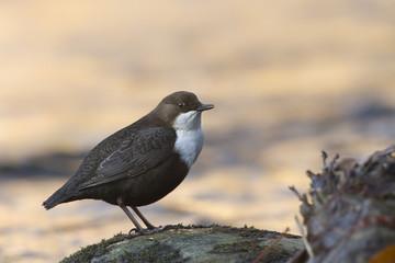 Cincle plongeur (cinclus cinclus) oiseau des rivières