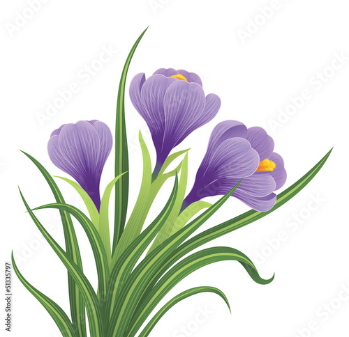 Spring crocus flowers on a white background.
