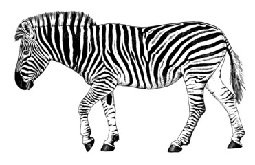 Black and white vector drawing of a Zebra walking
