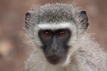 Vervet monkey face closeup