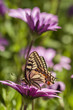 Swallowtail butterfly in a purple daisy field