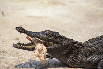 crocodile eat meat