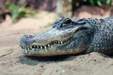 Ein Lächelndes Krokodil