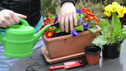 Pour on freshly planted primroses