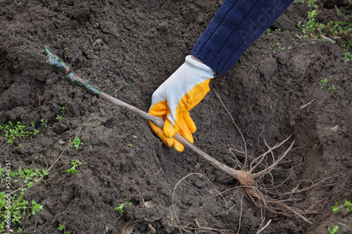 Farmer hand planting grape plant to hole in ground