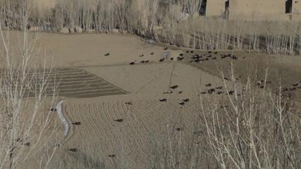 Troupeau de moutons à Bamyian 01, Afghanistan