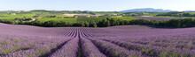 rangée de champ de lavande