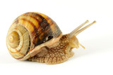 Garden Snail in motion on white background