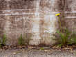Urban decay detail - dandelion by concrete wall,  Taraxacum offi