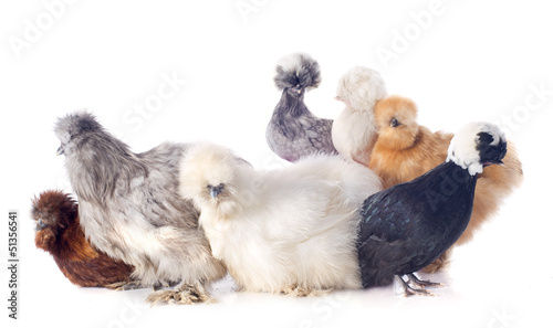 young Silkies and dutch bantam