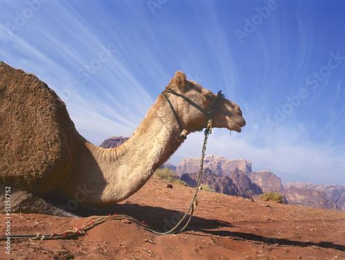 Camel resting in Wadi Rum