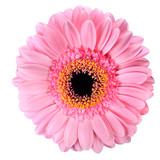 Fototapety Pink Gerbera Marigold Flower Isolated on White