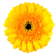 Perfect Yellow Gerbera Flower Macro Isolated on White