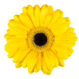 Beautiful Yellow Gerbera Flower Macro Isolated on White