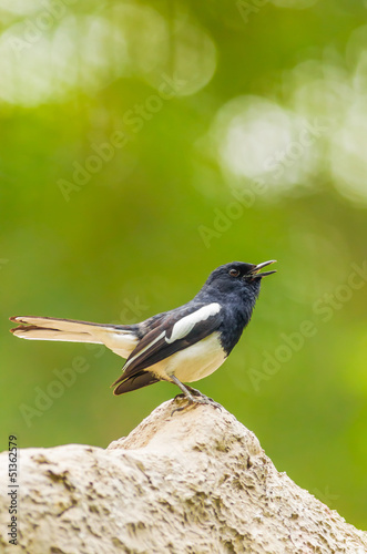 Male Oriental Magpie Robin bird is standing on the rock