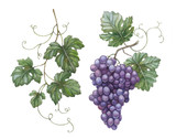 Fototapety Watercolor illustration of grapes with leaves