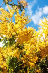 Blossoming spring Acacia dealbata