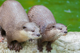 Two otters stare for the food in the zoo