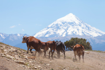 Herd of cows, volcano Lanin, Patagonia, Argentina