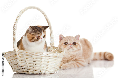 Exotic shorthair cat.  Two cats sitting