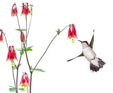 Hummingbird focuses and a  red columbine flower.