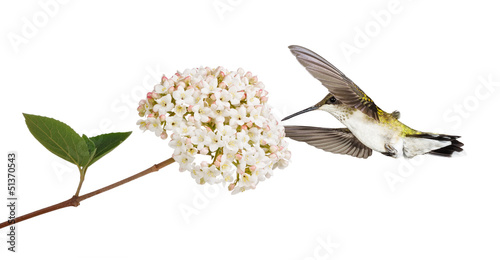 Hummingbird and a Viburnum