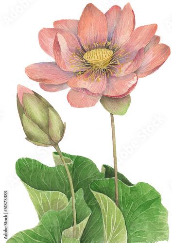Fior di loto - Nuphar luteum