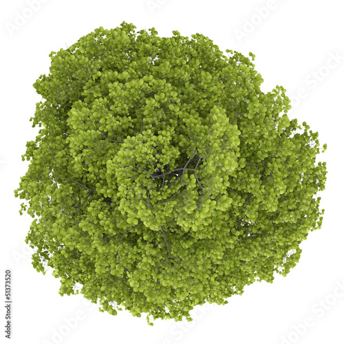 top view of common lime tree isolated on white background