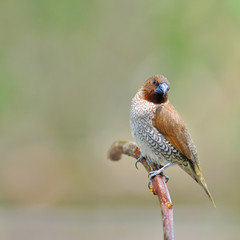 spotted munia bird