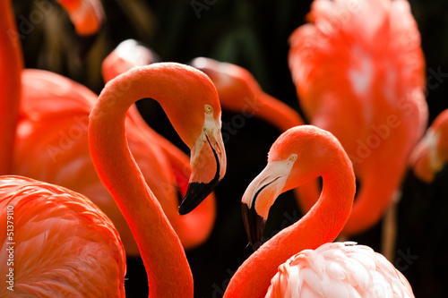 Kuba-Flamingo (Phoenicopterus ruber) © Jearu