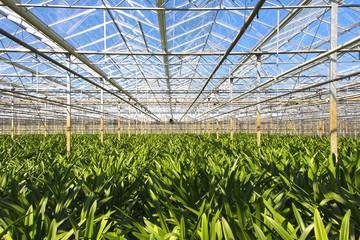 Amaryllis nursery in a greenhouse