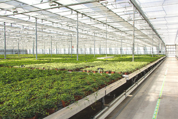 Hedera nursery in a green house