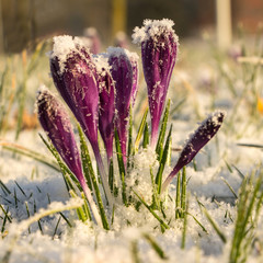 Blomming crocus in the snow during golden hours