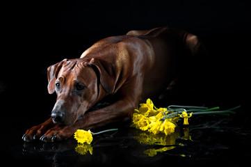 Beautiful dog rhodesian ridgeback smelling flowers isolated on b