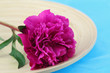 Pink peony rose on bamboo tray and blue background
